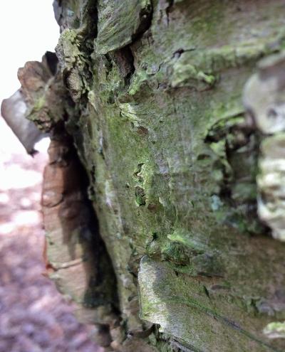 yellowbirch bark close3