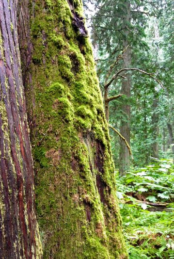 mossy tree copy