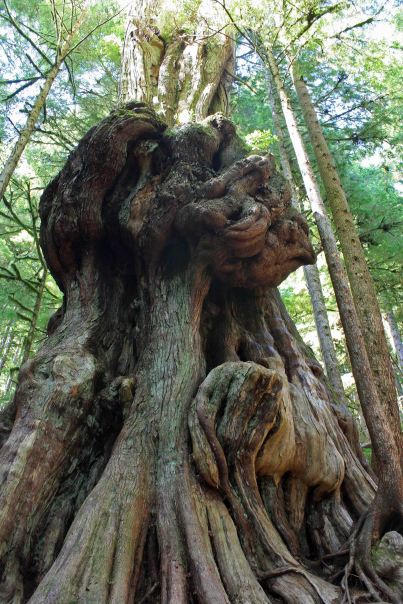 gnarly cedar avatar grove