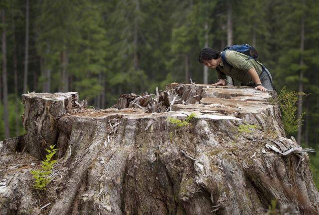 KenWu-cedar stump PortRenfrew