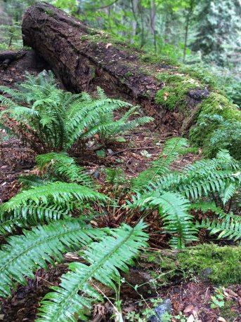 nurse log ferns copy
