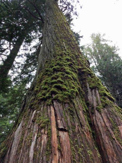 tall cedar-moss copy