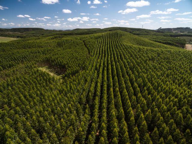 Eucalyptus-Forest_Sao-Paulo-Brazil_shutterstock_507937129_web