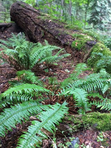 nurse log ferns copy