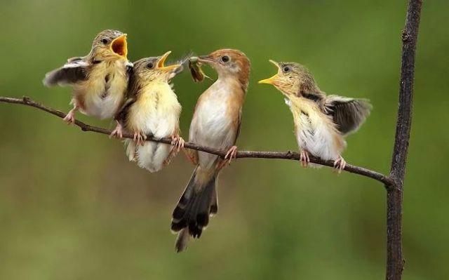 baby birds singing