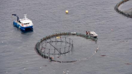 salmon farm escape