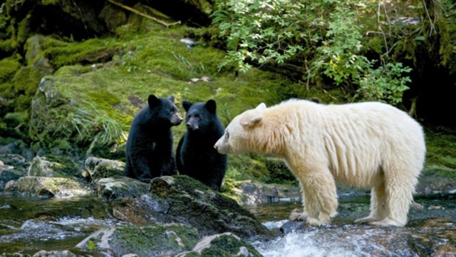spiritbear Mon and cubs