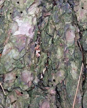 Beetle bore holes pine log