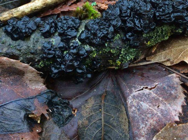 BlackWitchsButter-Exidia glandulosa