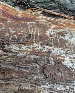 larval tracks in pine wood