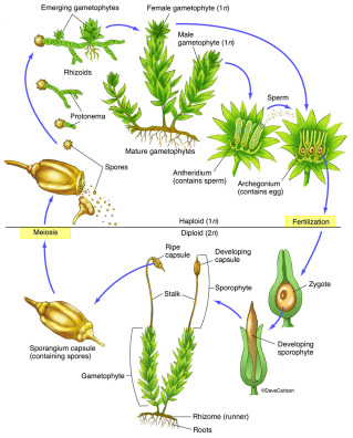 moss-life-cycle