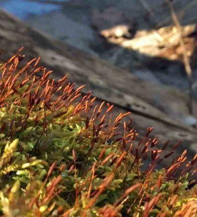 moss sporing 2