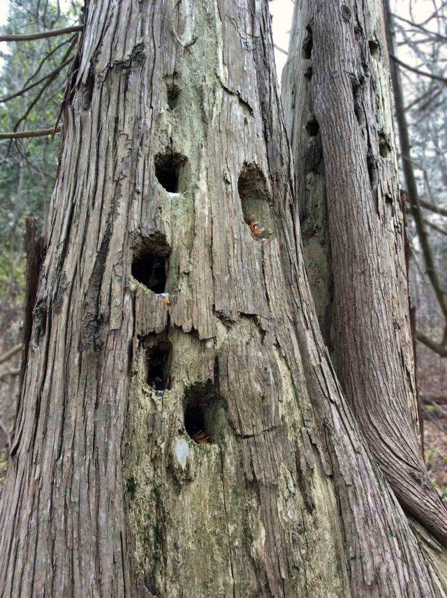 oldcedar-holes