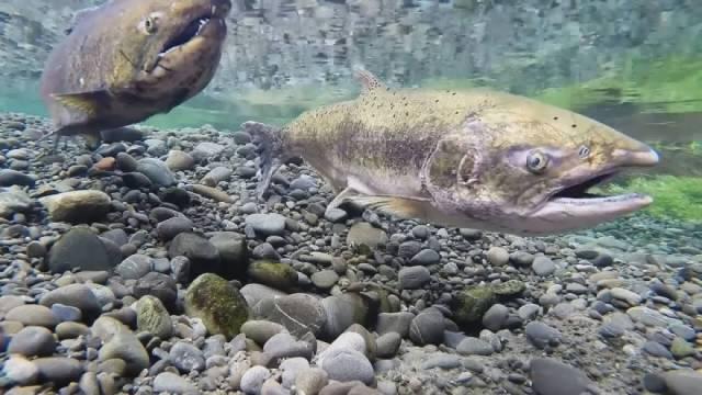 sockeye salmon copy