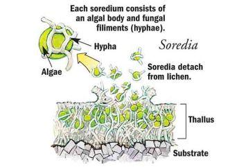 soredia-copy