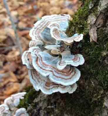 TurkeyTail fungus on tree