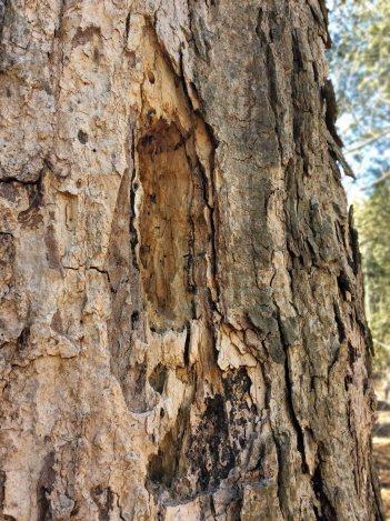 WoodpeckerHole on cedar