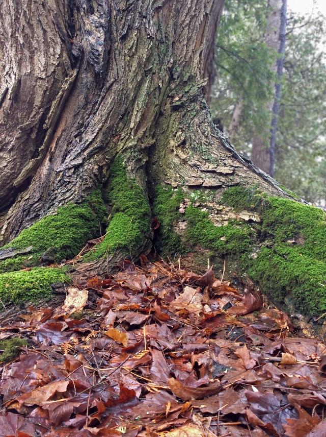 Cedar trunk base