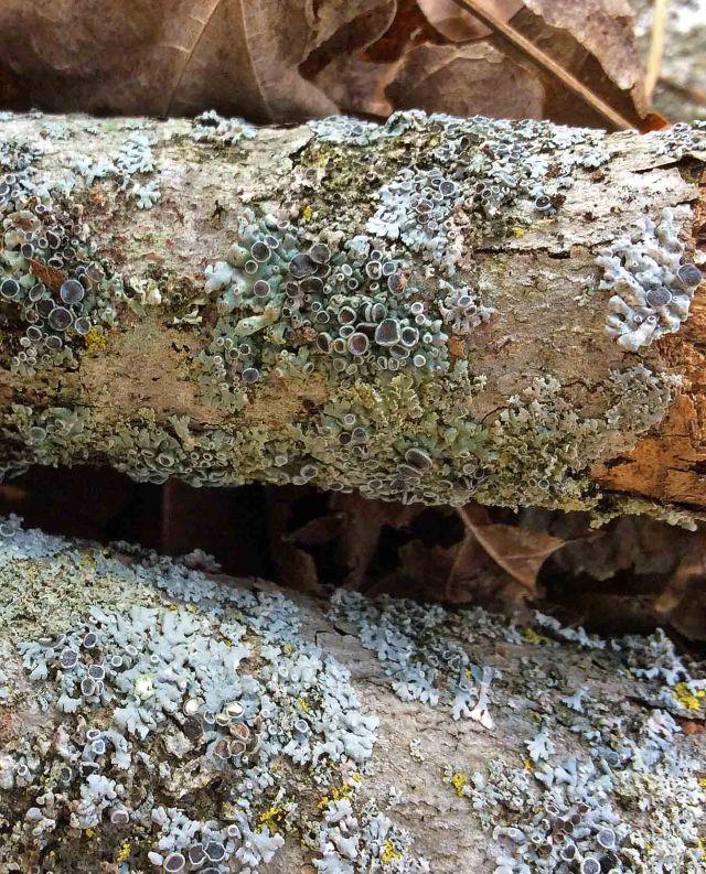 lichen fruiting