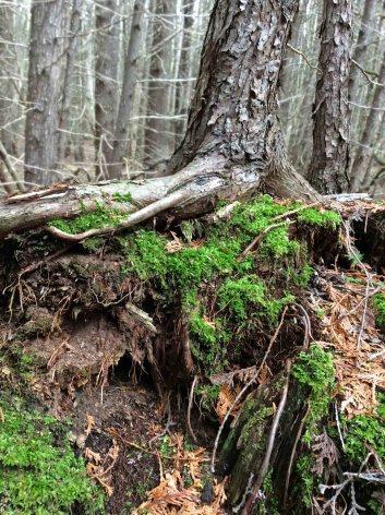 Cedar over mossed cedar log TNS