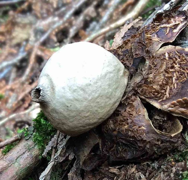 Fungi Collared Earthstar Geastrum triplex-close TNS copy