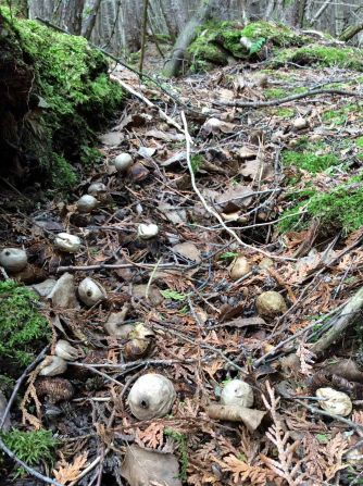 Fungus Puffball alley TNS