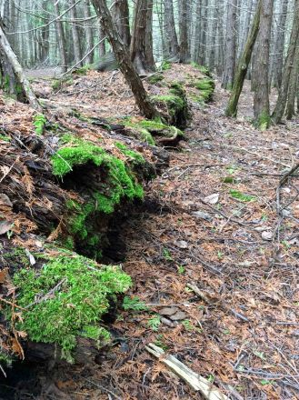 Log decayed mossed in cedar forest TNS