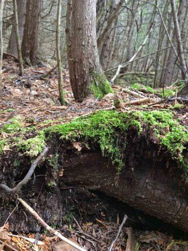 Log decaying moss TNS