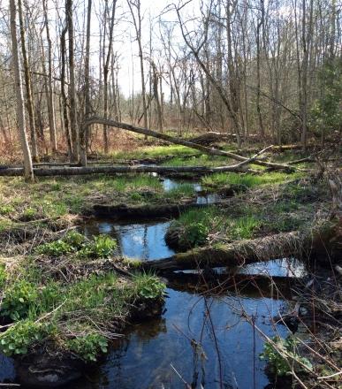 Marsh-stream-beavers-TNS