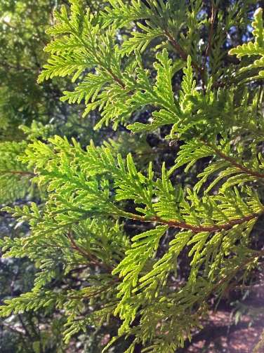 Tree Cedar young leaves TNS