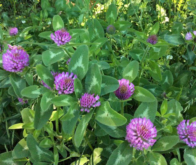 Flower clover field 3 upper TC