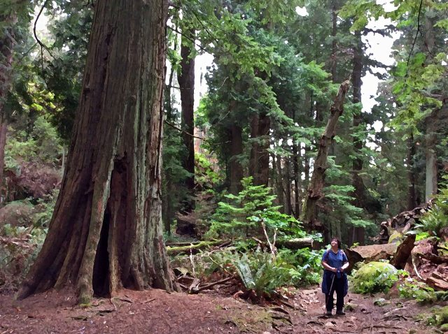 Forest-Cedar giant-marg drybr-LHP
