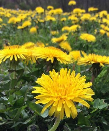 Dandelion field Pb