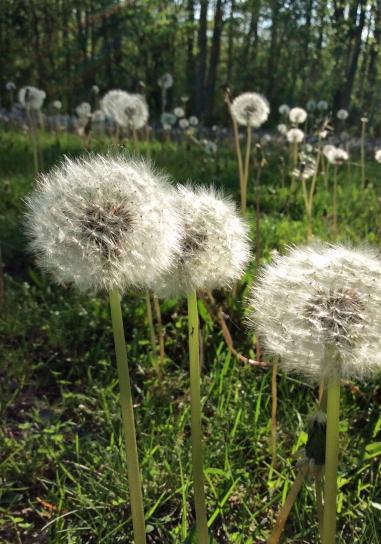 Dandelion seed field Pb