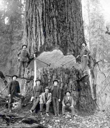 Loggers springboard system Douglas-fir-1890s