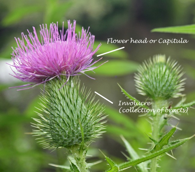 Thistle flowerhead labelled