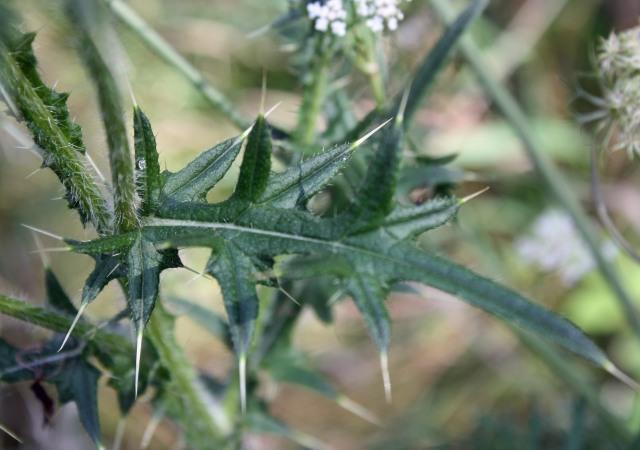 Thistle lanceolate leaf spines Pb