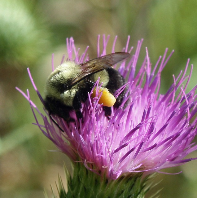 Bumble bee with legs full of pollen feeding on Bull thistle nectar (photo by Nina Munteanu)