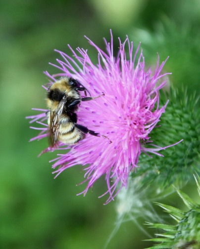 Thistle bumblebee feeding Pb
